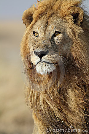 lion-male-large-golden-mane-serengeti-15689350